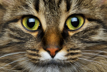 Cute Muzzle Tabby Cat Closeup