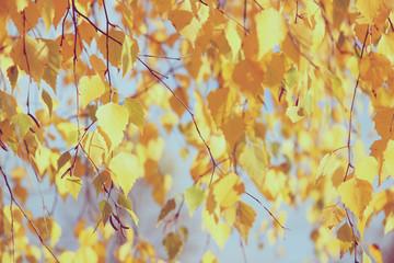 NaklejkaAutumn yellow birch. Autumn park