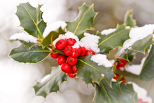 Close Up Od A Branch Of Holly With Red Berries Covered With Snow
