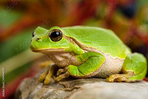 Tuinposter Kikker European green tree frog lurking for prey in natural environment