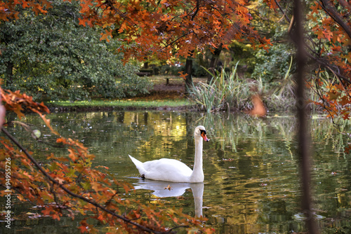 Poster Cygne swan in the pond through the trees and leaves in autumn