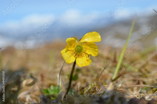 Yellow buttercup flower subarctic swedish mountain tundra buy yellow buttercup flower subarctic swedish mountain tundra mightylinksfo