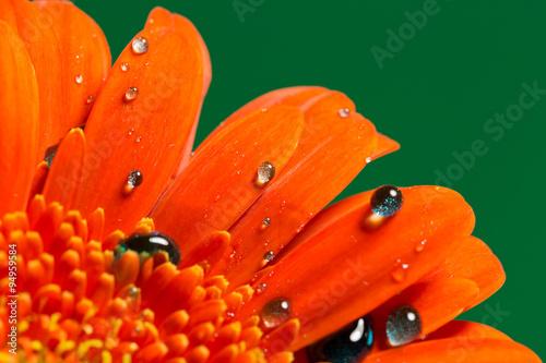 kropelka-kropla-woda-rosa-gerbera-kwiat