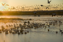 Thousands Of Snow Geese And Sa...
