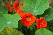 Nasturtiums Orange Colors, Gro...