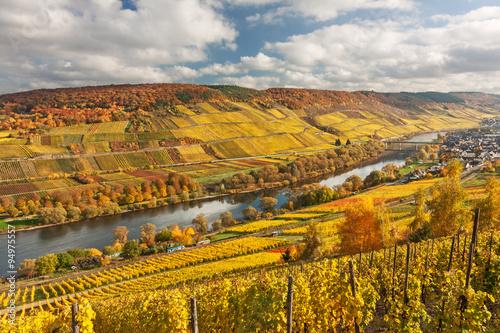 Aluminium Prints Autumn Tal der Mosel mit Weinbergen im Herbstlaub bei Reil in Rheinland-Pfalz