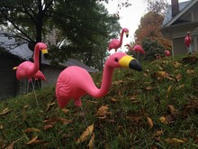 Flock Of Plastic Flamingos