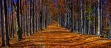 Fototapeta Natura - Colorful autumn trees