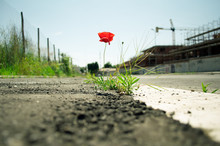 Poppy Flower In The Concrete: Mother Nature Always Wins Concept