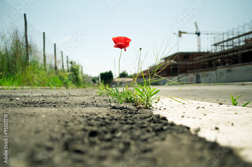 Poster Poppy Poppy flower in the concrete: mother nature always wins concept