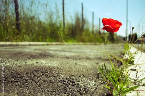 Poster Klaprozen Poppy flower in the concrete: power of life concept