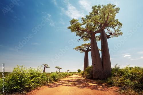 In de dag Baobab Madagascar. Baobab trees