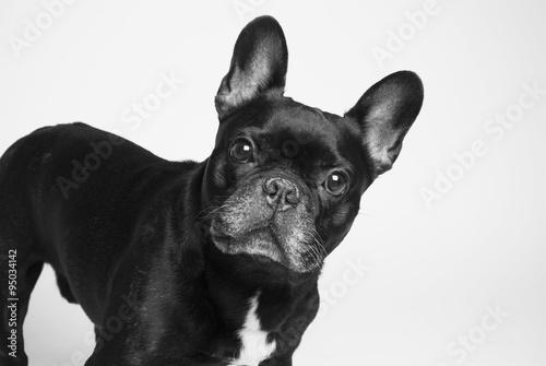 Deurstickers Franse bulldog bulldog francés