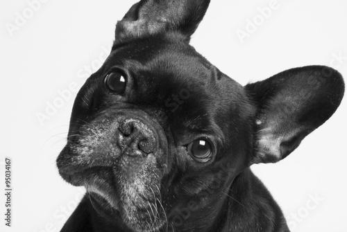 Foto op Canvas Franse bulldog bulldog francés