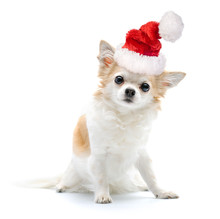 Chihuahua Dog With Santa Hat O...