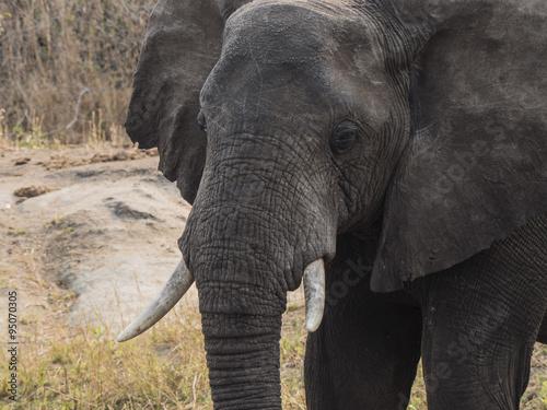 Canvas Prints Elephant elefante africano