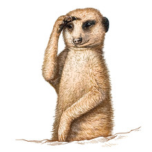 Engrave Meerkat Illustration