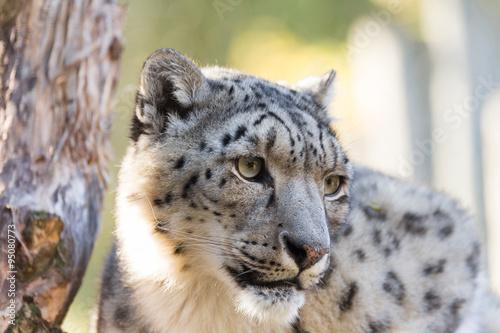 In de dag Panter snow leopard, Uncia uncia