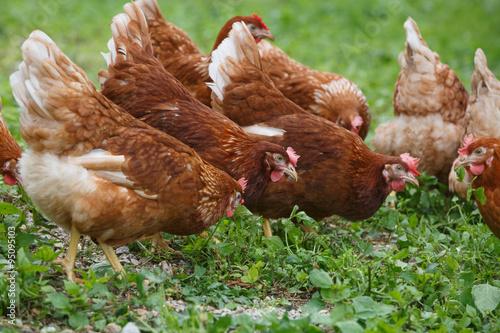 Keuken foto achterwand Kip Free-range hens (chicken) on an organic farm