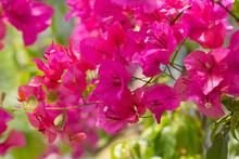 Blossoming Bougainvillea Bush ...