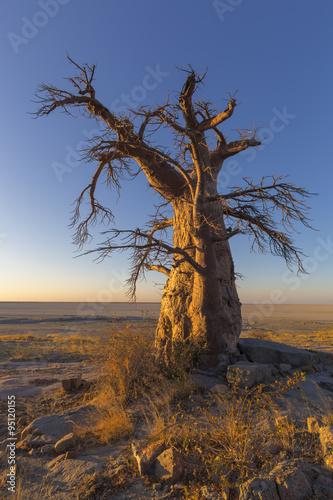 Lone Baobab Tree at Sunrise