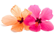 Two Hibiscus Flower Isolated O...