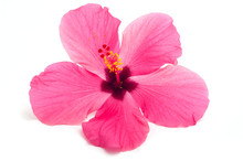 Hibiscus Flower Isolated On Wh...