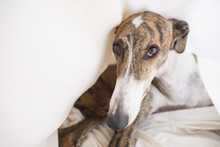 Greyhound In House