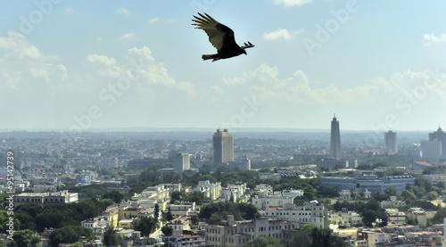 Fotografie, Obraz  The American vultures (Cathartidae Lafresnaye) soars over Havana Cuba