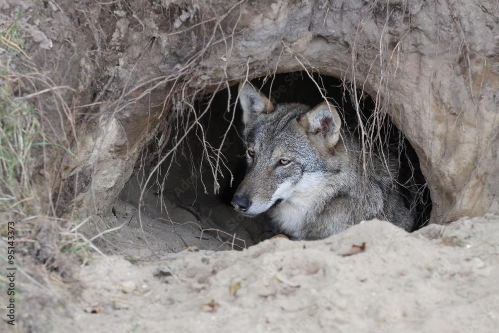 Fotografía Lobo en una madriguera | Europosters.es