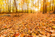 Fallen Leaves And Fall Foliage Lit By Sunset Sunbeams, Shining Through The Forest Trees, At Bear Mountain State Park, New York