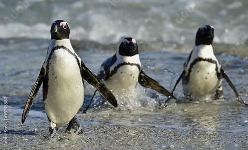 Tuinposter Pinguin African penguins (spheniscus demersus)