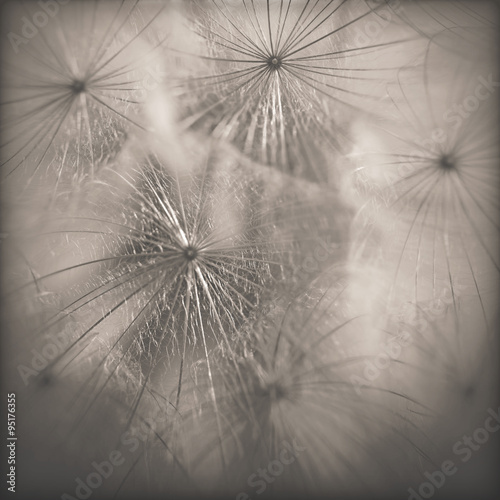 Fototapety, obrazy: Dandelion close-up.Special toned photo in vintage style