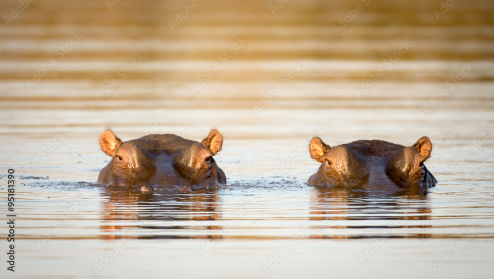 Fototapeta Two hippos in the water