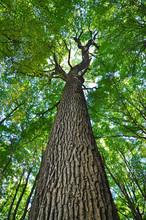 Oak Tree Trunk Forest.