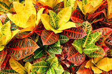 Colorful Croton Leaves Background
