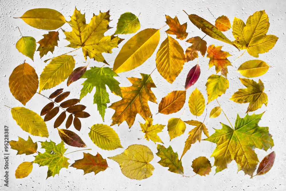 Fototapeta Kolorowe, podświetlone, mokre, jesienne liście przyklejone kroplami deszczu do okna na szarym tle