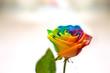 canvas print picture - Bellissimo fiore di rosa con i colori dell'arcobaleno  - Rosa arcobaleno - Rosa multicolore