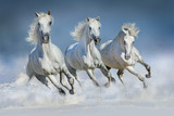 Fototapeta Horses - Three white horse run gallop in snow