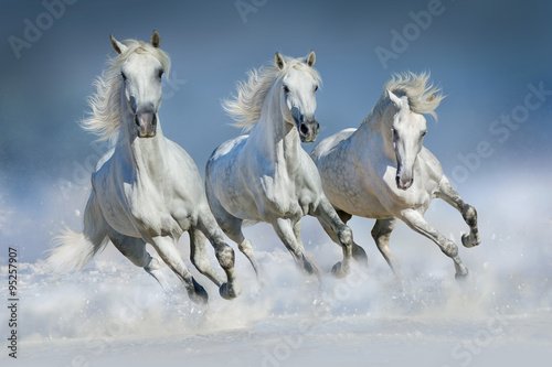 Fotografiet  Three white horse run gallop in snow