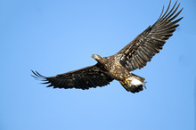 Juvenile American Bald Eagle In Flight With Large Fish