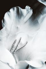 Obraz na Plexi Czarno-Biały Gladiolus