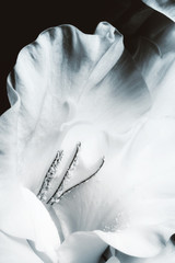 Obraz na SzkleGladiolus