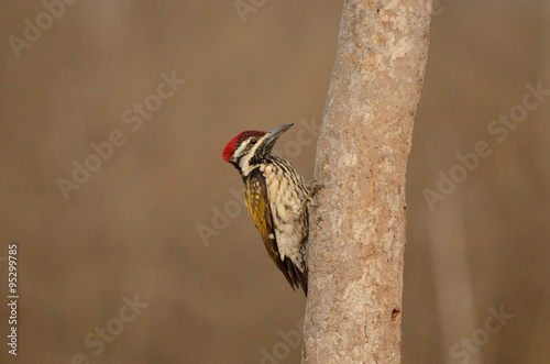 Photo  Flameback Woodpecker