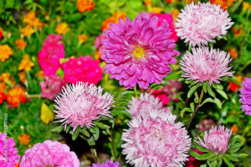Poster de jardin Dahlia Autumn flowers asters. Landscape.