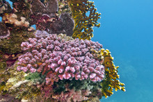 Coral Reef With Violet Stony C...