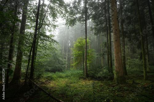 Fototapeta Brume dans un sous bois obraz