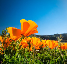 California Golden Poppies Against A Blue Sky