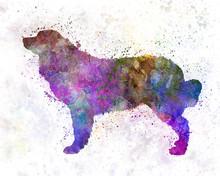 Bernese Mountain Dog In Watercolor