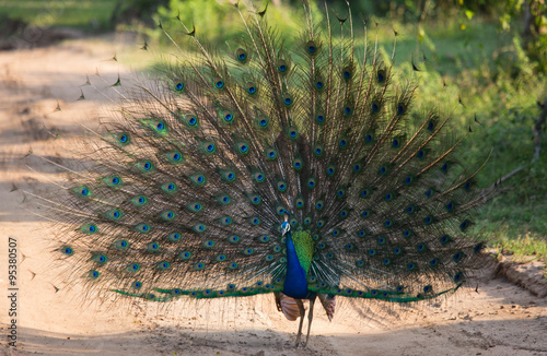 Peacock on the background of his tail. Close-up. Sri Lanka. An excellent illustration.
